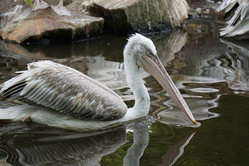 pelican_zoo_rotterdam